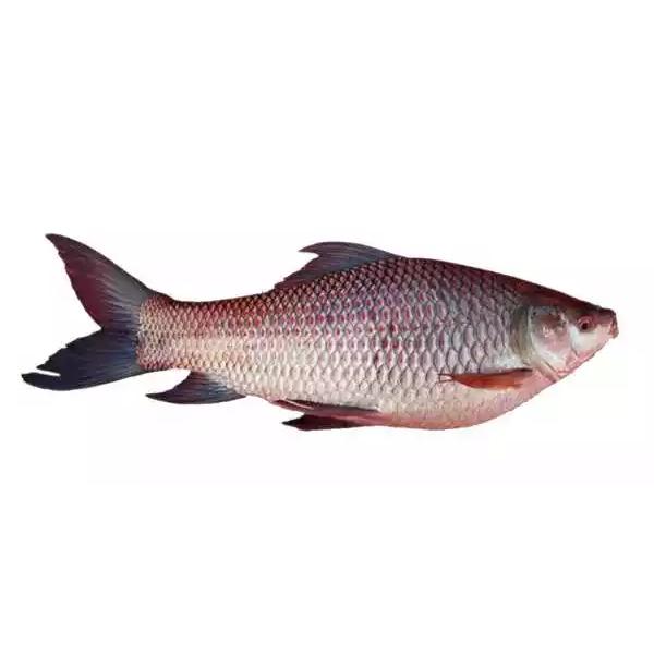 Rui Fish Live (Medium)-(Per kg)