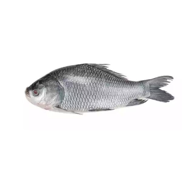 Live Big Catla (Katla) Fish (per KG)